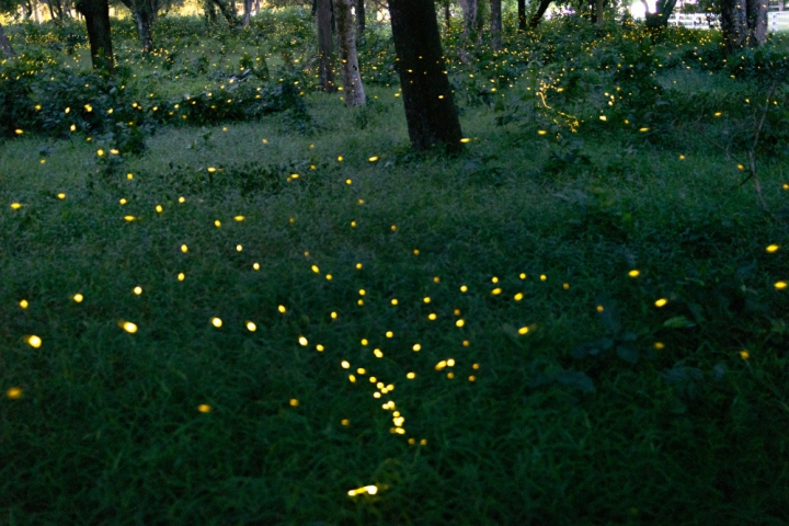 Fireflies-prachinburi-traveloka